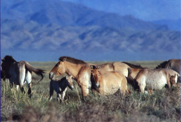 Przewalski horses with foals; Pict: Ch. Walzer